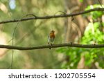 robin sitting on a branch in... | Shutterstock . vector #1202705554