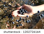 Dark Blue Ripe Sloe Fruit In...