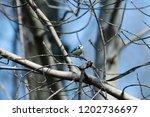 the eurasian blue tit ... | Shutterstock . vector #1202736697