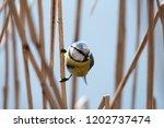 the eurasian blue tit ... | Shutterstock . vector #1202737474