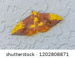 A large brown, tan, and yellow Imperial Moth (Eacles imperialis) resting with its wings spread on a stucco wall.