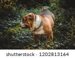english bulldog portrait  | Shutterstock . vector #1202813164