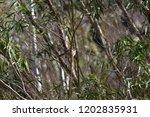 an inquisitive female  splendid ... | Shutterstock . vector #1202835931