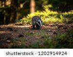 badger in forest  animal in... | Shutterstock . vector #1202914924