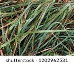 grass dew texture. beautiful... | Shutterstock . vector #1202962531