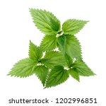 Nettle Leaves Isolated On White ...