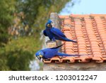 Couple Of Hyacinth Macaw From...