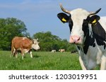 cow on a summer pasture | Shutterstock . vector #1203019951