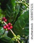 arabica coffee cherries on tree ...   Shutterstock . vector #1203072121