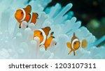 Clown Fish And Anemone  Raja...