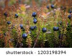 ripe berries and bushes...   Shutterstock . vector #1203198394