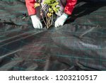lay out the weed fleece | Shutterstock . vector #1203210517