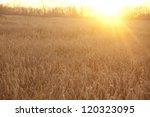 Ripening Ears Of Wheat Field O...