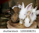Stock photo baby rabbits in farm feeding rabbits little rabbits eat instant rabbit food in wooden cage 1203308251