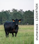 Single Black Angus Cow Standin...