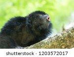 male of black howler monkey... | Shutterstock . vector #1203572017