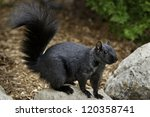 Black Squirrel Standing On A...