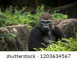 gorilla male silverback great... | Shutterstock . vector #1203634567