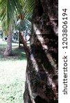 lizard climbing to coconut tree ... | Shutterstock . vector #1203806194