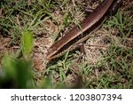 thailand skink or east indian... | Shutterstock . vector #1203807394