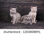 Stock photo scottish straight and scottish fold kittens three kittens are looking to the right cats look to 1203808891