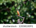 common kingfisher also known as ... | Shutterstock . vector #1203810091