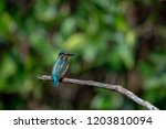 common kingfisher also known as ... | Shutterstock . vector #1203810094