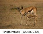 Springbok   Springbuck ...