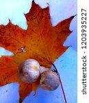 champignon on maple leaf   Shutterstock . vector #1203935227