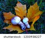 champignon on maple leaf   Shutterstock . vector #1203938227