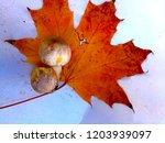 champignon on maple leaf   Shutterstock . vector #1203939097