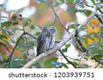 eurasian pygmy owl swabian jura ...   Shutterstock . vector #1203939751