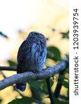 eurasian pygmy owl swabian jura ...   Shutterstock . vector #1203939754