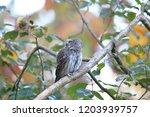 eurasian pygmy owl swabian jura ...   Shutterstock . vector #1203939757