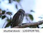 eurasian pygmy owl swabian jura ...   Shutterstock . vector #1203939781