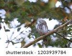 eurasian pygmy owl swabian jura ...   Shutterstock . vector #1203939784