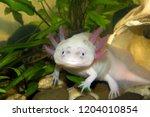 Underwater Axolotl Portrait...