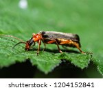red soldier beetle  rhagonycha... | Shutterstock . vector #1204152841