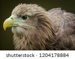 white tailed  eagle  haliaeetus ... | Shutterstock . vector #1204178884