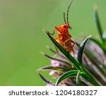 red soldier beetle  rhagonycha... | Shutterstock . vector #1204180327