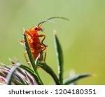 red soldier beetle  rhagonycha...   Shutterstock . vector #1204180351
