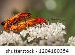 red soldier beetle  rhagonycha... | Shutterstock . vector #1204180354