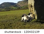 New Lambs In The Sunshine