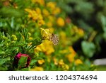 Dingy Skipper Insect On A...