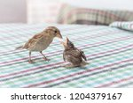 new born sparrow bird babies.... | Shutterstock . vector #1204379167