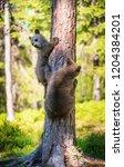 brown bear cub climbs a tree.... | Shutterstock . vector #1204384201