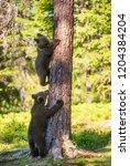 brown bear cub climbs a tree.... | Shutterstock . vector #1204384204