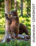 brown bear cub climbs a tree.... | Shutterstock . vector #1204384207