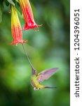 the sword billed hummingbird ... | Shutterstock . vector #1204396051