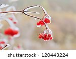Red Berries Of Viburnum In The...